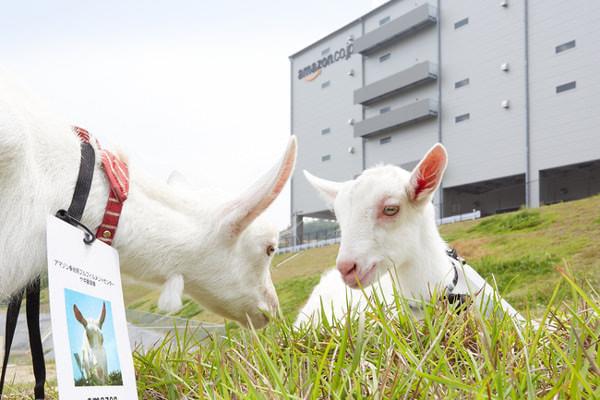 Amazon.co.jp、物流施設に「ヤギ」投入、去年の2倍--エコな除草のため