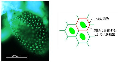 シロイヌナズナ子葉の蛍光イメージ