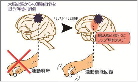 脳損傷で失われた運動機能を肩代わりする脳の変化、産総研などが解明