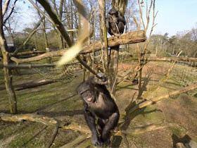 動物園のチンパンジー、プライバシー侵害でドローンを撃墜