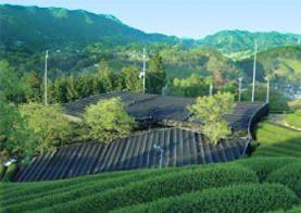 参考画像:産地である京都の茶畑