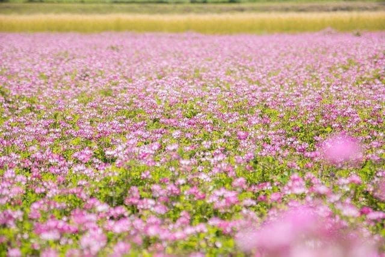 レンゲの花畑のイメージ