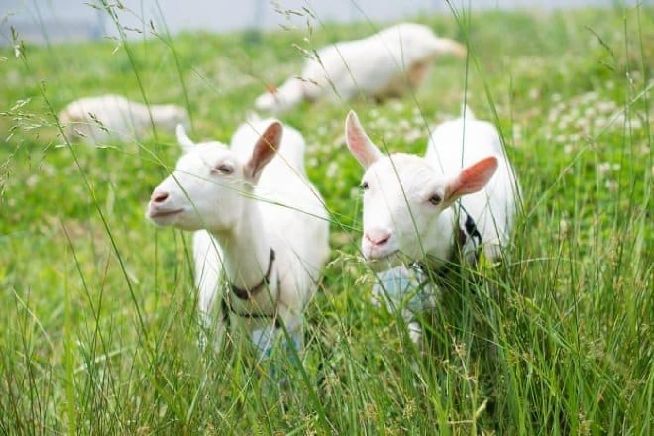 草を食べる白い子ヤギ