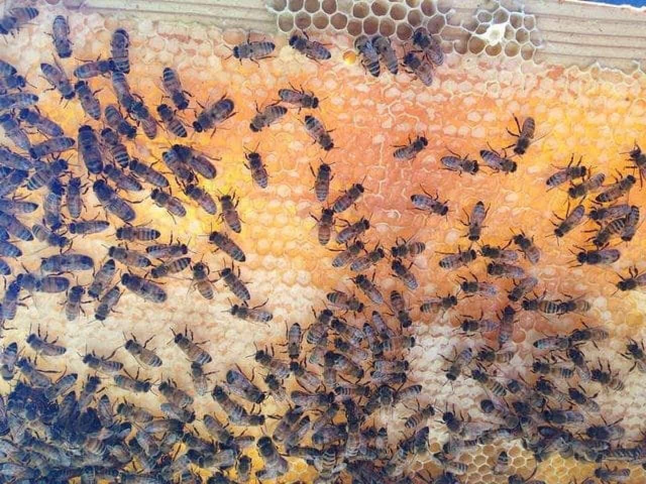 近大ハニーを採るためのミツバチ