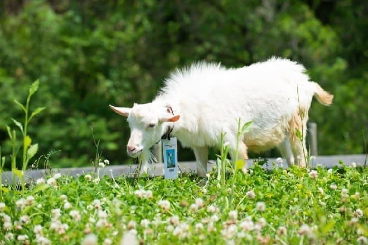 草むらに建つ白い子ヤギ