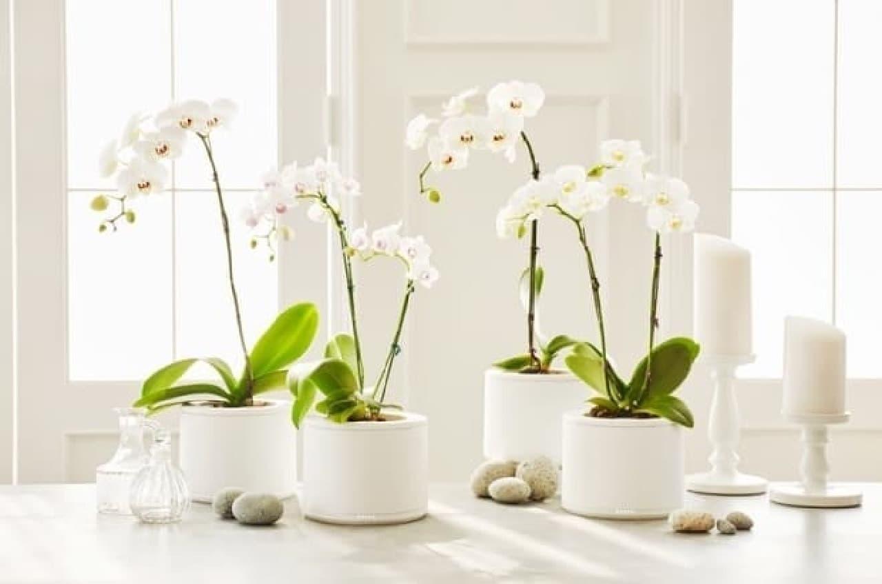 白い花が植わったいくつもの植木鉢
