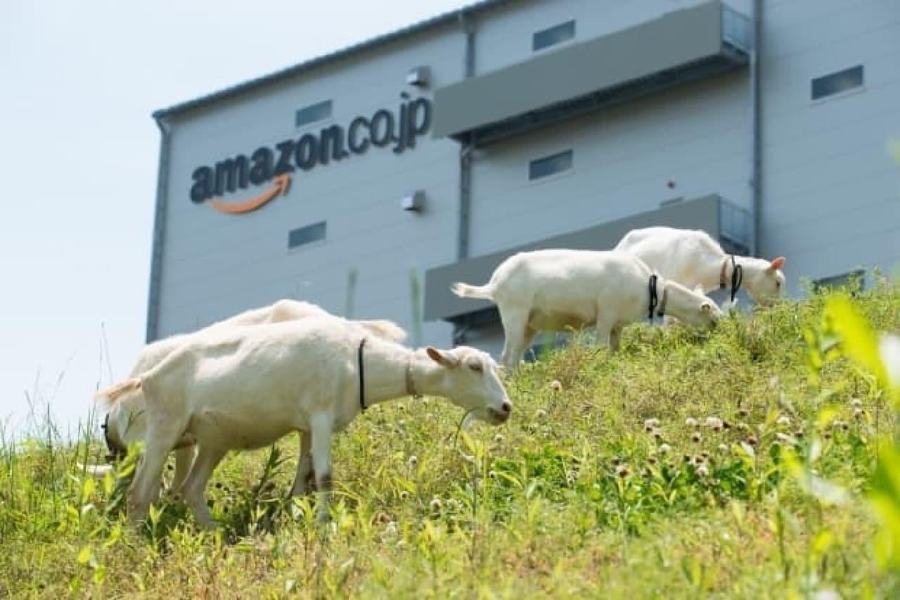 アマゾンの物流施設を背景にしたヤギ