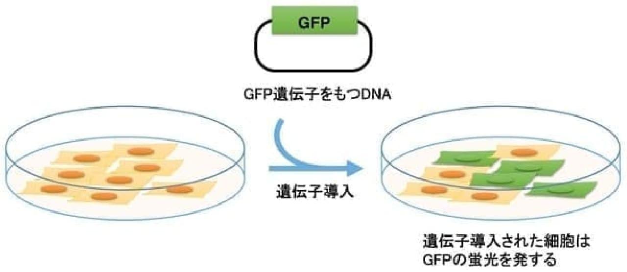 GFP遺伝子を導入する概念図