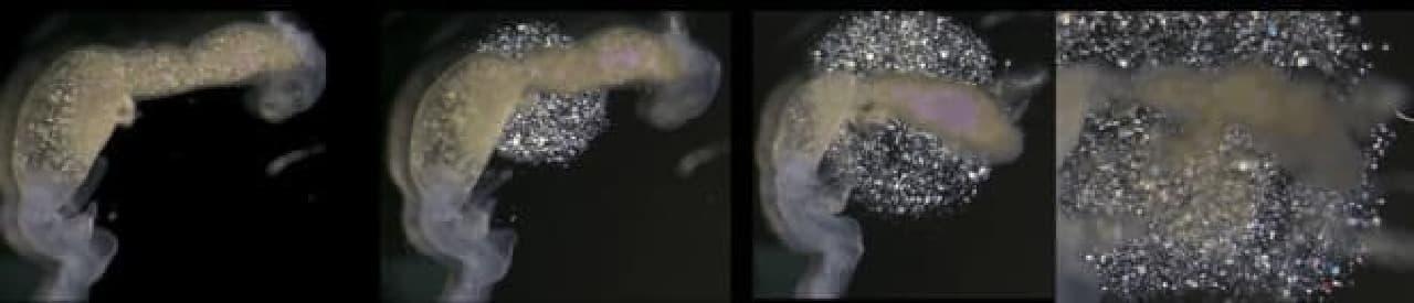 ゴキブリの腸から放出されるミルクプロテイン結晶 (画像はインド国立生命科学研究所のWebサイトから)