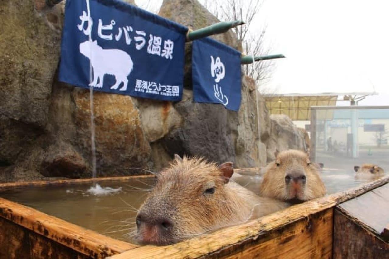 今年もやります「カピバラの長風呂対決」!…長風呂ナンバーワンカピバラは誰?