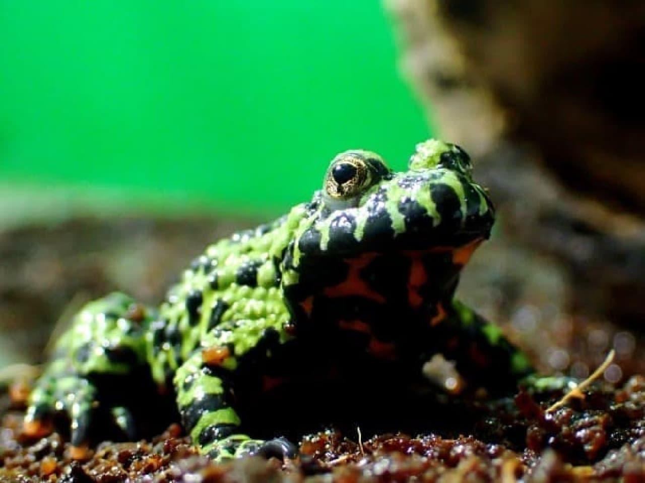 毒を持つカエルの写真