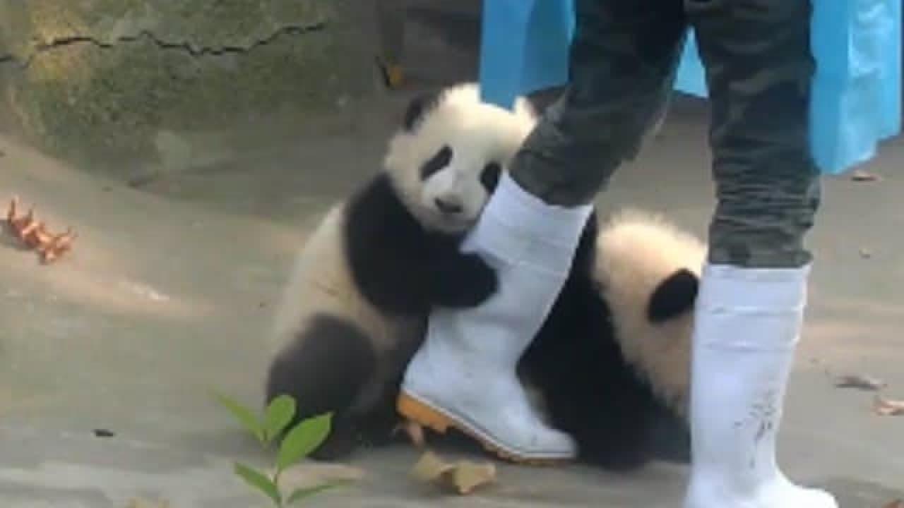 パンダの子どもが足にしがみついているところ