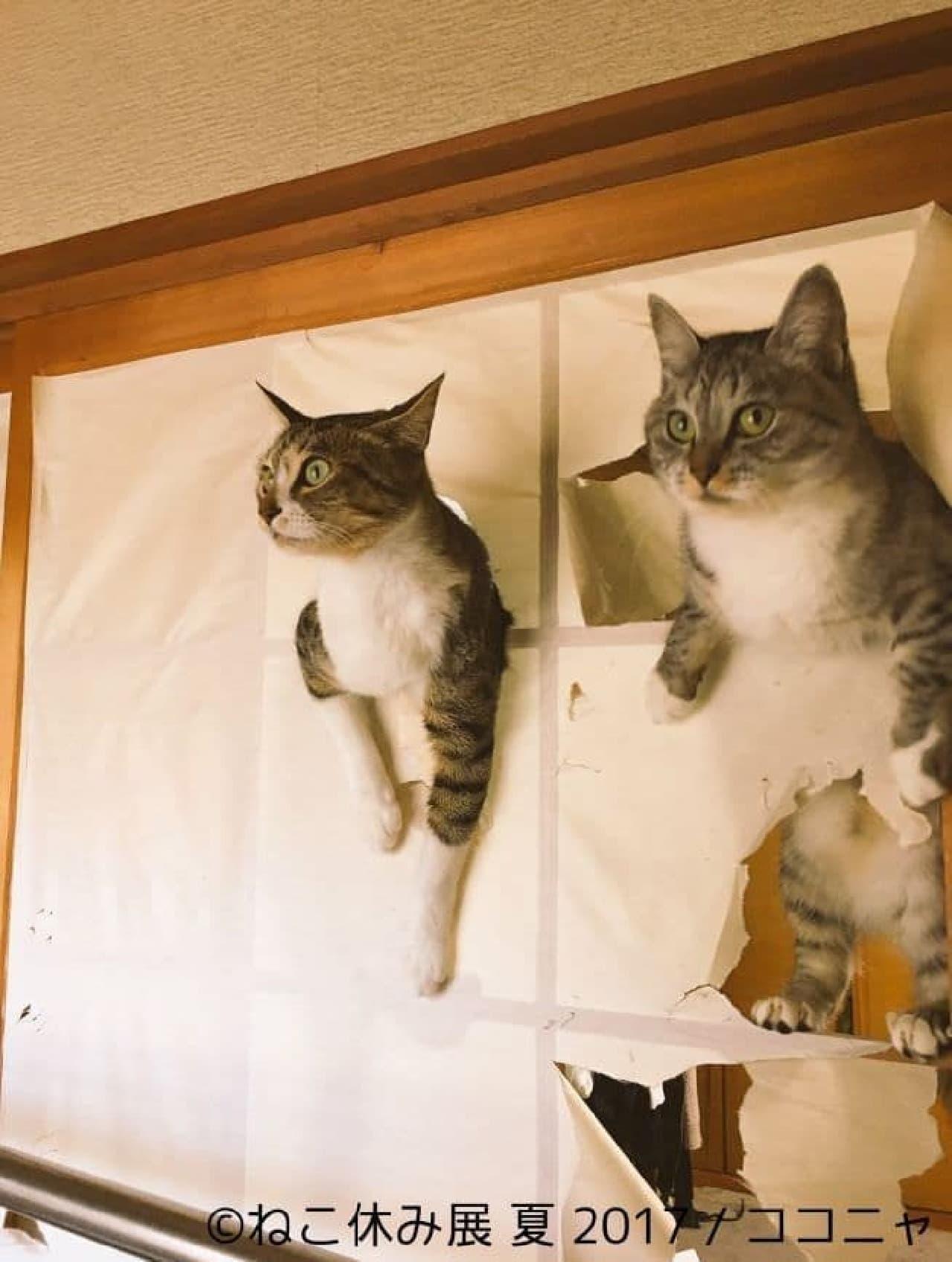 ココニャさん障子を自由自在にクライミングする猫