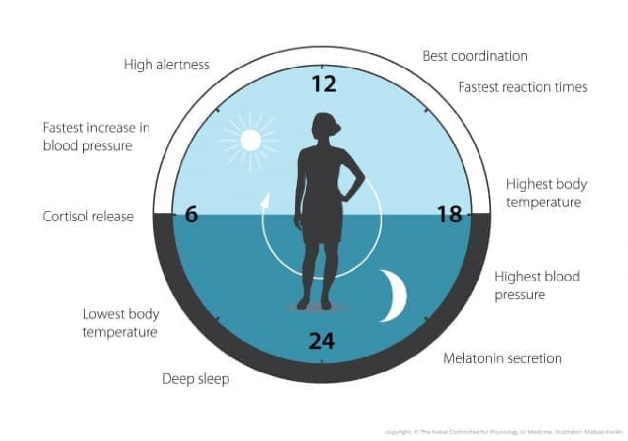 体内時計のイメージ