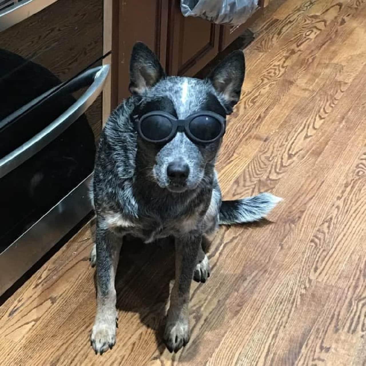 犬の体温を計測・表示する「Dawg Tag」ハーネス