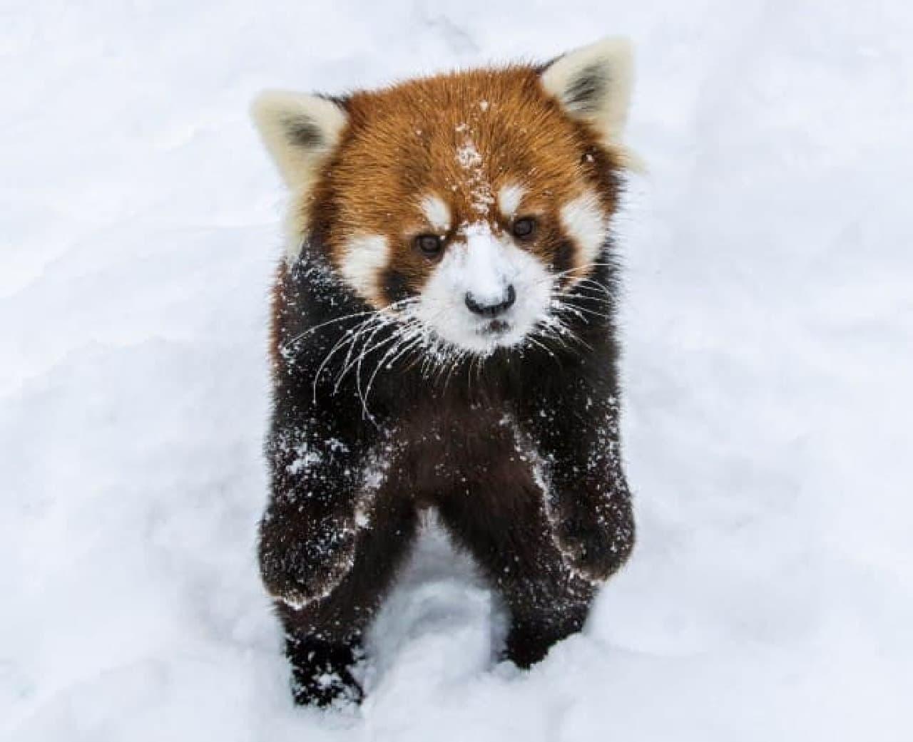 石簾マサさんの写真集「へんてこ! レッサーパンダ」