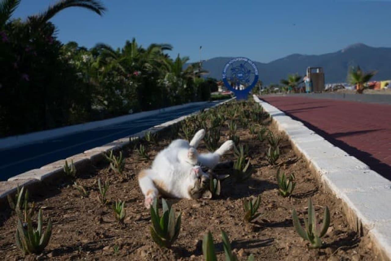 「NyAERA (ニャエラ) みっけ」の表紙は、沖昌之さん撮影のトルコのネコ