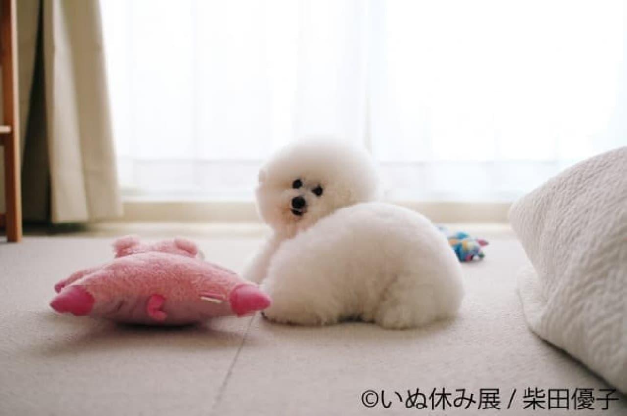 トイプードルアーニーちゃんの写真集『トイプーのアーニー』が人気柴田優子さん